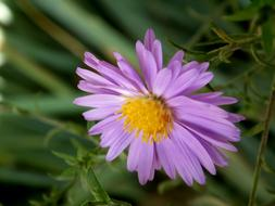 goodly Chrysanthemum Purple