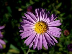 unusually beautiful Flower Chrysanthemum Purple
