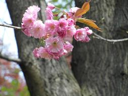Pink ornamental Cherry Blossoms at tree trunk