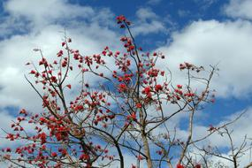Erythrina Indica, Coral Tree branches at sky