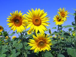 Sunflowers blooming in field beneath blue sky