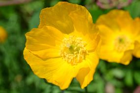 fabulous Poppy Yellow Scottish