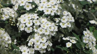 macro photo of a blooming white bush