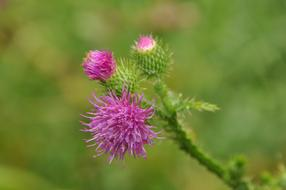 stunningly beautiful Carduus Crispus Thistle Ring