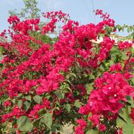 blooming pink bougainvillea