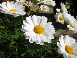 fabulous cute Daisy Flower