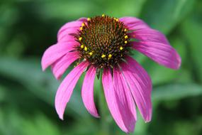 perfect Echinacea Flower