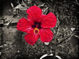 burgundy hibiscus on a black white background