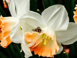 white Daffodils and Bee