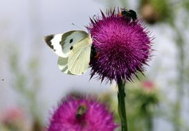 white moth and fluffy bees on a blooming thistle