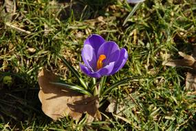 Crocus Spring Purple flower