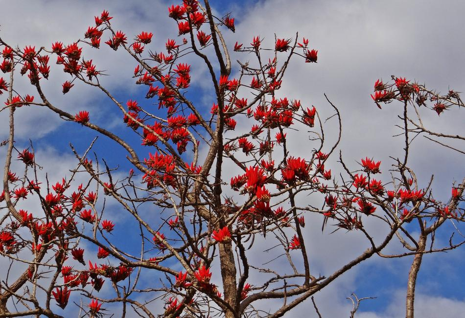 red Indica Coral Tree