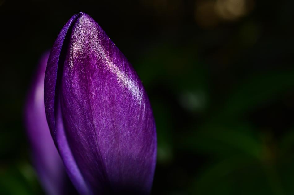 purple Crocus Flower Spring