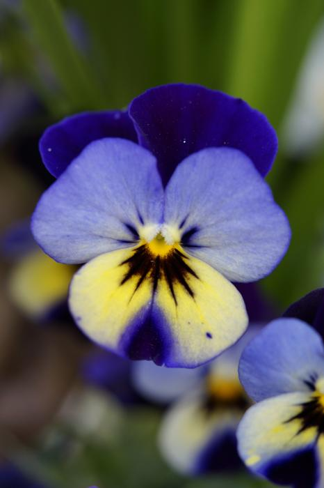 Pansy Flower flower blue