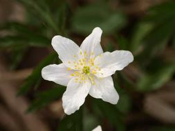 Wood Anemone Flower white