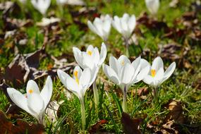 Crocuses, White Flowers on lawn