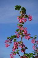 Blood Currant Blossom blue sky
