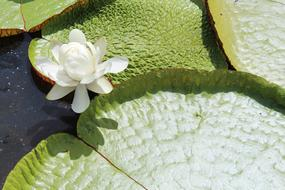 Water Lily White Flower green leaf