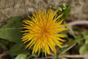 yellow Dandelion Flower Roadside
