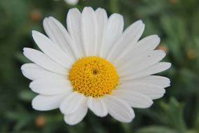 incredible beauty Marguerite flower