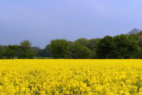 Field Of Rapeseeds yellow