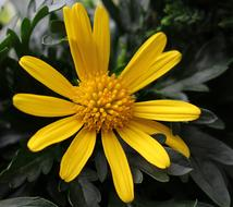 Marguerite yellow