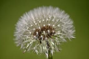 Dandelion Flower white green background