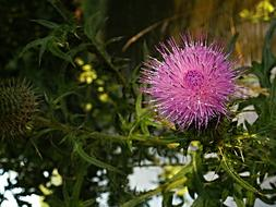 Thistle Flower Purple green