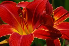 macro photo of bright red lilies