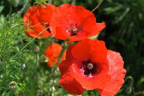 group of red poppies in grass
