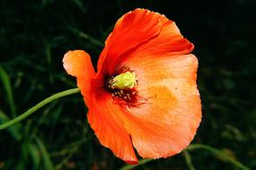 Flower Poppy red orange