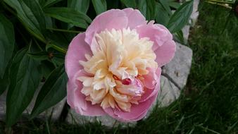 Peony, Pink and creamy fluffy flower