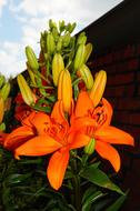 Orange Flowers of oriental lily