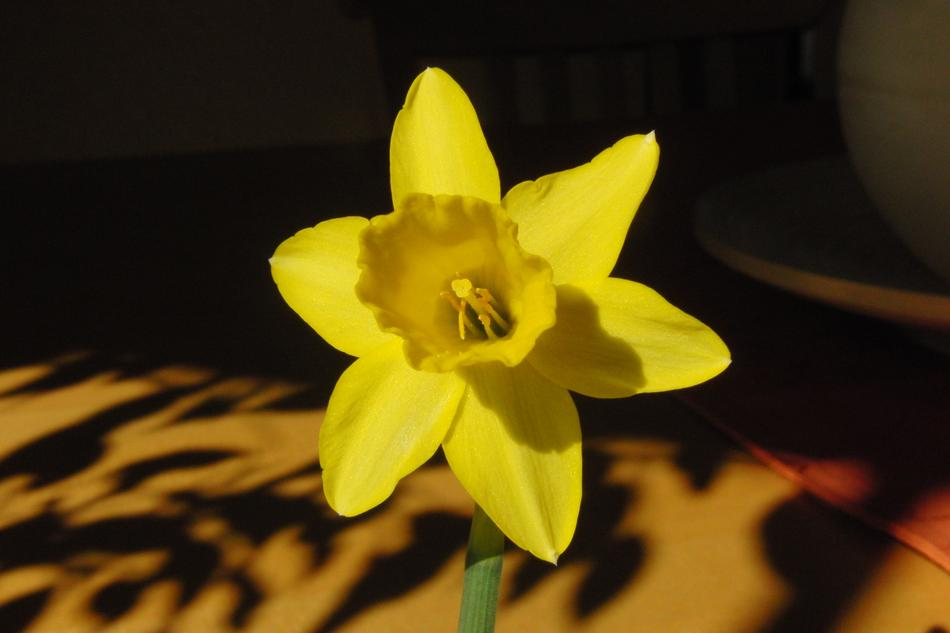 Yellow Daffodil Flower on sunlight