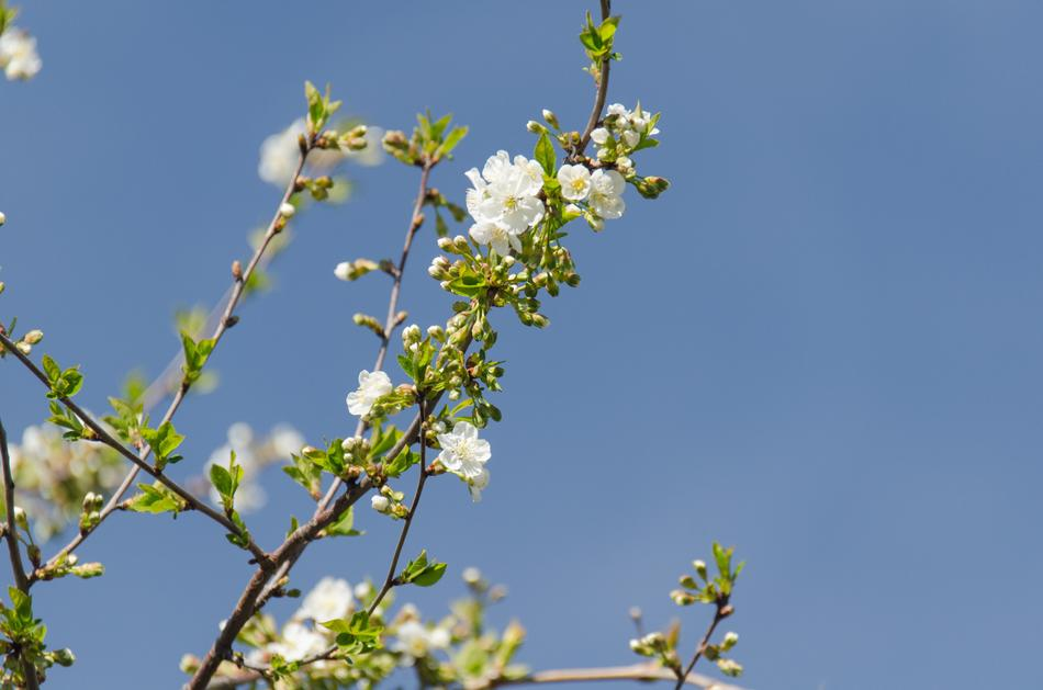 white buds on cherry branches against a blue sky