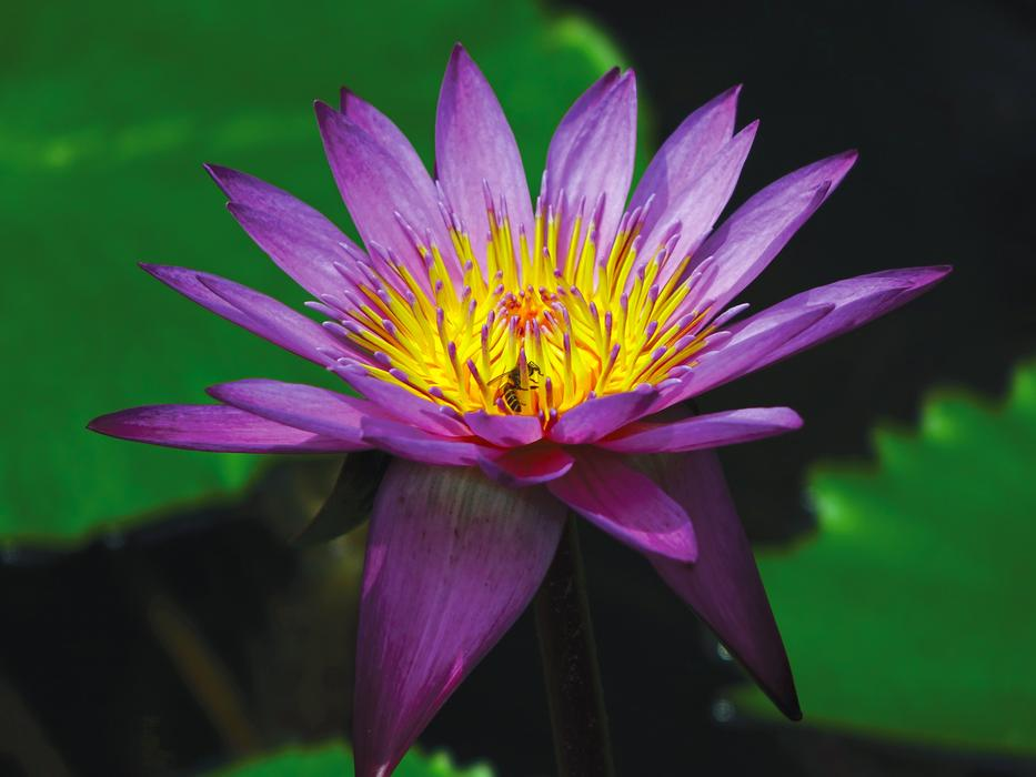 violet Water Lily Flower Pond