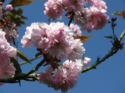 Ornamental Cherry Blossom blue sky
