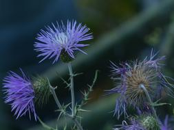 blue Thistle flowers