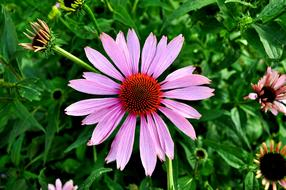 wondrous Coneflower Echinacea Purple
