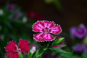 red pink Dianthus Flower Blossom