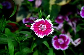 fascinating Dianthus Flower