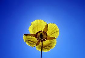 Yellow Poppy Garden flower
