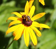 Coneflower and Bee Nectar