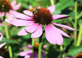 romantic Coneflower Purple