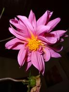 open purple flower of dahlia at sunlight