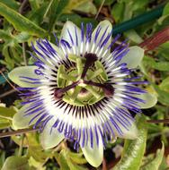Passionflower white purple