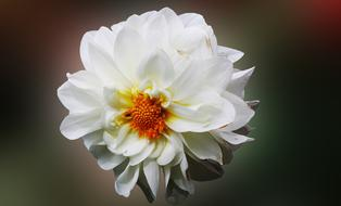 wondrous Dahlia Flower White