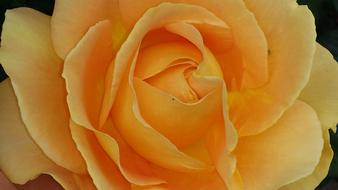Rose, Orange Flower, top view, detail