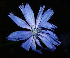 Chicory Flower black background