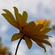 yellow Flower at cloudy sky